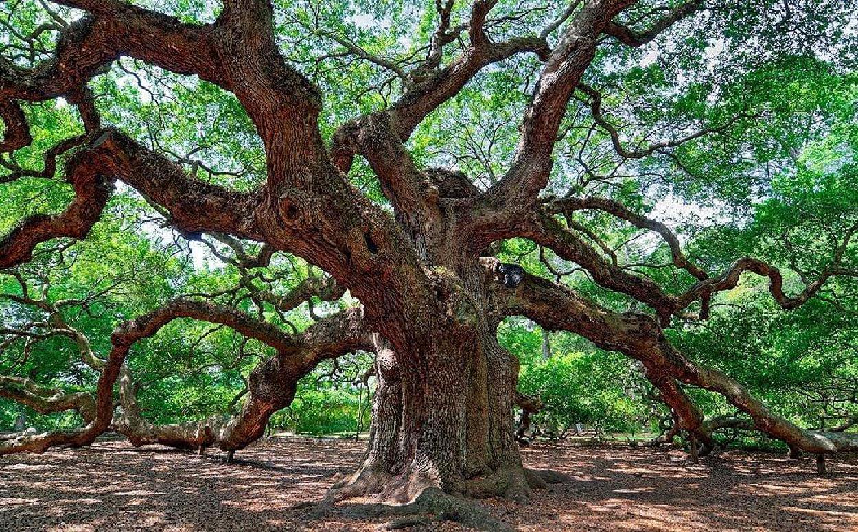 The word oak, originally just meant tree, because oaks were plentiful.